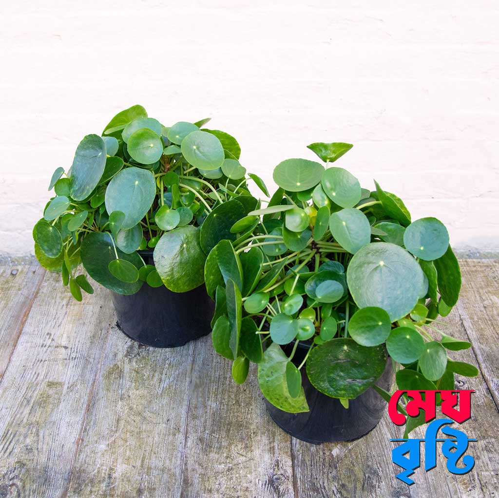 Pilea Peperomioides/Chinese money plant/ coin tree